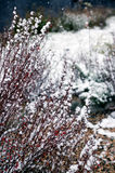 Arbuste de berbéris (Berberis vulgaris) sous la première neige Image stock