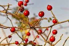 Arbuste de cynorrhodon - canina rouge de Rose de cynorrhodon de baie photos stock