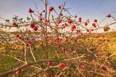Arbuste de cynorrhodon - canina rouge de Rose de cynorrhodon de baie au-dessus de l'eau image stock