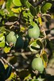 Arbuste de Feijoa avec le fruit mûr Photographie stock