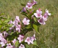 Arbuste de floraison d'amabilis de Kolkwitzia Photos libres de droits