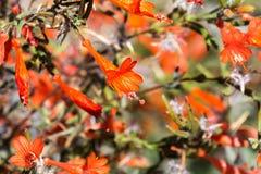 Arbuste de fuchsia de Californie photo stock