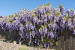 Arbuste de glycine en pleine fleur dans la bâche et la dissimulation de printemps Photo libre de droits
