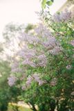 Arbuste de ressort photo libre de droits