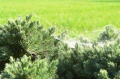 Arbuste et toile d'araignee Photo stock