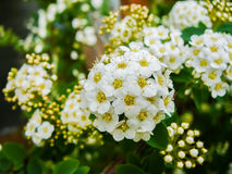 Arbuste fleurissant blanc photo stock