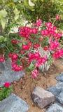 Arbuste fleurissant Le buisson exotique de jardin avec deux a modifié la tonalité les fleurs rouges et blanches images libres de droits