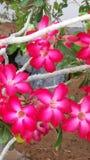 Arbuste fleurissant Le buisson exotique de jardin avec deux a modifié la tonalité les fleurs rouges et blanches Fermez-vous vers  images libres de droits