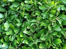 Arbuste, haut étroit d'arbre Image stock
