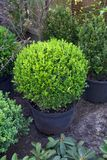 Arbuste mis en pot de sempervirens de Buxus image libre de droits