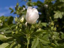 Arbuste rose de floraison de chien Images libres de droits