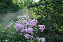 Arbuste rose de pulvérisation avec le pulvérisateur de main de jardin Photos stock