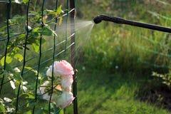 Arbuste rose de pulvérisation avec le pulvérisateur de main de jardin Images stock