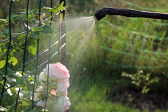 Arbuste rose de pulvérisation avec le pulvérisateur de main de jardin closeup Images stock