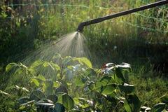 Arbuste rose de pulvérisation utilisant le pulvérisateur closeup Photographie stock libre de droits