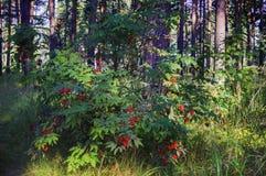 Arbuste rouge de baie de sureau Photo libre de droits