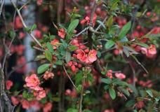 Arbuste rouge fleurissant de coing image libre de droits