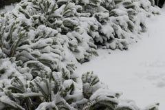 Arbuste sous le sort de neige Photo stock