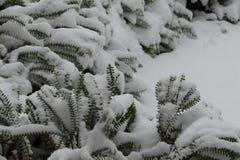 Arbuste sous le sort de neige Photographie stock