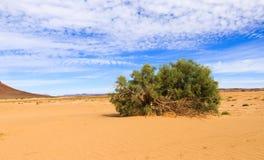 Arbuste vert dans le désert du Sahara Photographie stock