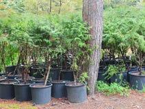 Arbustes à feuilles persistantes de Cypress dans des pots Photo libre de droits
