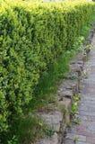 Arbustes équilibrés de buis avec les feuilles vertes Image stock