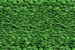 Arbustes coupés de thujas de vert de bordure de haies Photographie stock