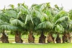 Arbustes d'excelsa de Rhapis en parc au printemps Photographie stock libre de droits