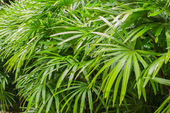 Arbustes d'excelsa de Rhapis en parc au printemps Image stock