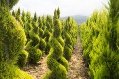 Arbustes de buis dans une crèche Photos libres de droits