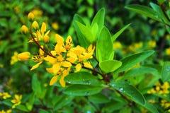 Arbustes de fleur de Galphimia Photo stock