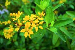 Arbustes de fleur de Galphimia Photos stock