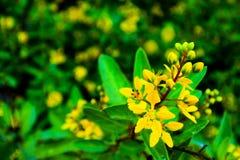 Arbustes de fleur de Galphimia Photographie stock