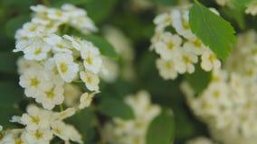Arbustes et arbres avec les fleurs blanches en parc banque de vidéos