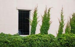 Arbustes et lierre verts sur le mur de plâtre Photographie stock