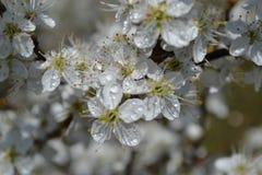 Arbustes fleurissants Images stock
