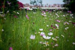 Arbustes fleurissants Image libre de droits