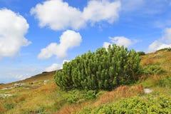Arbusti coniferi verdi in un prato della montagna fotografia stock