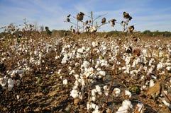 Arbusti del cotone Fotografie Stock
