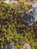 Arbusti del Crowberry Fotografia Stock Libera da Diritti
