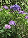 Arbusti del macrophylla dell'ortensia in fioritura Fotografia Stock Libera da Diritti
