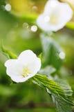 Arbusti della frutta e del fiore bianco Fotografia Stock