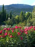 Arbusti delle rose rosse e rosa in un giardino botanico con i cespugli coniferi sui precedenti di un'alta montagna Fotografia Stock Libera da Diritti