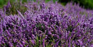 Arbusti di piccoli fiori porpora Fotografia Stock Libera da Diritti