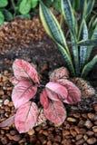 Arbusti - ibrido del Aglaonema Immagini Stock