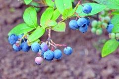 Arbusti nani dei mirtilli con i frutti maturi coltivati in giardino Fotografie Stock