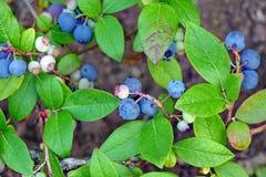 Arbusti nani dei mirtilli con i frutti maturi coltivati in giardino Fotografia Stock Libera da Diritti