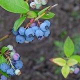 Arbusti nani dei mirtilli con i frutti maturi coltivati in giardino Fotografia Stock