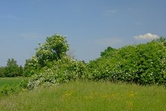 Arbusti più vecchi di fioritura in un prato con alta erba selvatica un giorno soleggiato con chiaro cielo blu Fotografia Stock