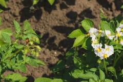Arbusti verdi della patata sul campo Fotografia Stock Libera da Diritti